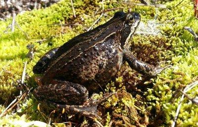 В Хабаровском крае из прудов исчезли обычные лягушки