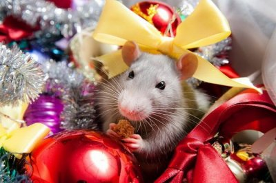 Характеристика и особенности Белой Металлической Крысы 2020