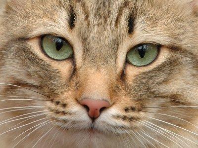 Глухая кошка пропала в Швейцарии, а нашлась в Германии