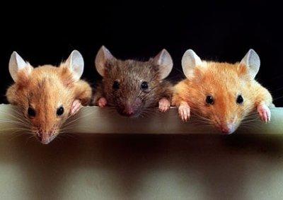 Американские ученые научились превращать мышей в агрессивных хищников