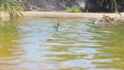 Ютуб ВИДЕО: Самая смелая утка в мире «затроллила» тигра в зоопарке
